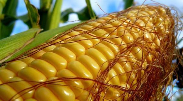 kukurice-big